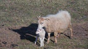 Entbinden Sie Schafe und neugeborenes Lamm stockbild