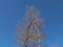 Entblößen Sie verzweigte Baumkrone auf dem Hintergrund des tiefen blauen Himmels Stockfotografie