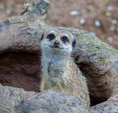 Ente alto vicino di meerkat che sta sulla terra, fotografia stock