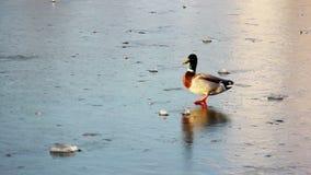 Ente auf dem Eis stock video footage