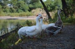 Ente auf dem Fluss Stockbild