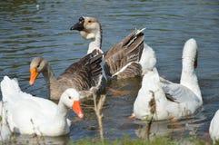 Ente auf dem Fluss Lizenzfreie Stockfotografie