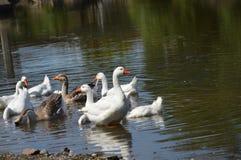 Ente auf dem Fluss Lizenzfreie Stockfotos
