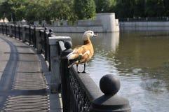 Ente auf dem Flussdamm Stockfoto