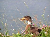 Ente auf dem Flussufer Lizenzfreie Stockbilder