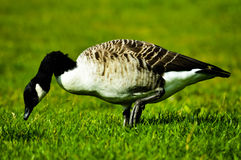 Ente auf dem grünen Gras Stockfotografie