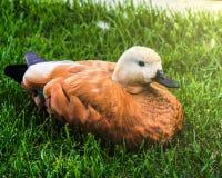 Ente auf dem Gras Lizenzfreie Stockfotografie
