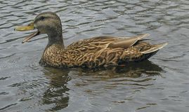Ente auf dem Kanal Stockfoto