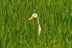 Ente auf dem Paddygebiet lizenzfreies stockbild