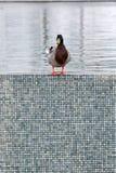 Ente auf dem Rand lizenzfreie stockbilder