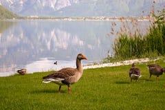 Ente auf dem Rasen lizenzfreies stockfoto