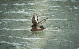 Ente auf dem See stockbild