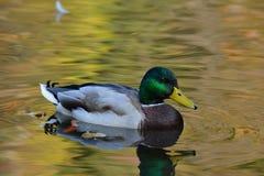 Ente auf dem See Stockfoto
