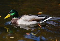 Ente auf dem See Lizenzfreie Stockfotos