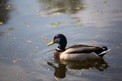 Ente auf dem See Lizenzfreie Stockbilder
