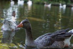Ente auf dem See Lizenzfreie Stockfotografie