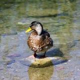Ente auf dem Stein Stockfotos