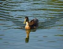 Ente auf dem Wasser stockfotografie