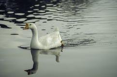 Ente auf dem Wasser lizenzfreie stockbilder