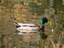 Ente auf dem Wasser Lizenzfreies Stockbild