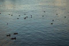 Ente auf dem Wasser Stockfotos