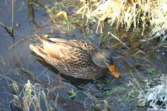Ente auf dem Wasser 26 lizenzfreie stockfotos