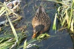 Ente auf dem Wasser 22 stockbild