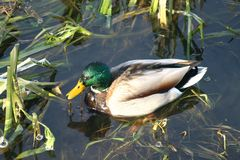 Ente auf dem Wasser 21 stockbild