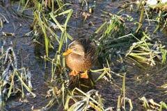 Ente auf dem Wasser 20 stockfotos