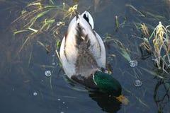 Ente auf dem Wasser 19 stockbild