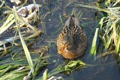 Ente auf dem Wasser 18 stockfotografie