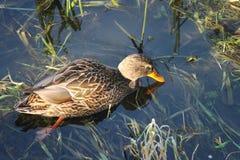 Ente auf dem Wasser 15 stockbild