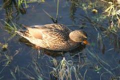 Ente auf dem Wasser 9 stockbild