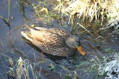 Ente auf dem Wasser 7 lizenzfreies stockfoto