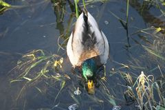 Ente auf dem Wasser 4 Stockfoto