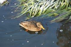 Ente auf dem Wasser 28 stockbild