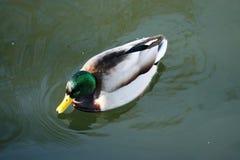 Ente auf dem Wasser 29 stockbilder