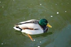Ente auf dem Wasser 30 stockfotos