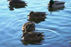 Ente auf dem Wasser 31 Lizenzfreies Stockfoto