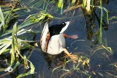 Ente auf dem Wasser 33 stockbild