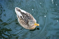 Ente auf dem Wasser 35 lizenzfreies stockbild