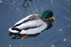 Ente auf dem Wasser 36 Lizenzfreies Stockfoto