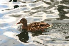 Ente auf dem Wasser 38 lizenzfreies stockfoto