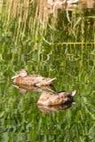 Ente auf dem Wasser Lizenzfreies Stockfoto