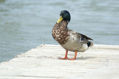 Ente auf einem Dock Stockfotos