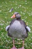 Ente auf einem Gras, das weg schaut Stockfoto