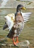 Ente auf einem Hintergrund des Stromes Lizenzfreie Stockbilder