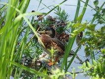 Ente auf einem Klotz Stockfotos