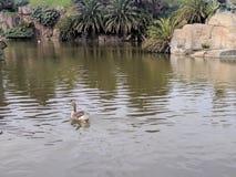 Ente auf einem See Lizenzfreies Stockbild