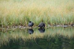 Ente auf einem See in der Natur Stockfotografie